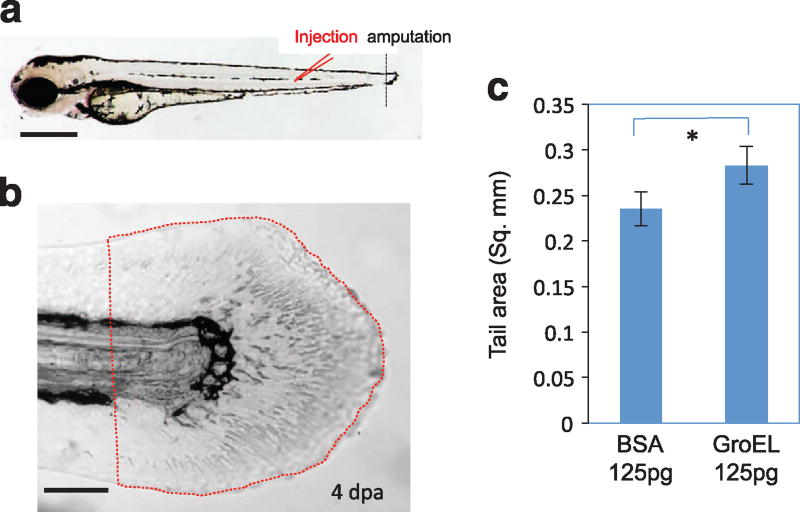 Extracellular HSP60 promotes caudal fin regeneration. ( a ) Schematic of injection site and amputation site. ( b ) Caudal fin area measured in the injected embryos at 4 dpa. Quantified areas are framed with dotted red lines, starting from the anterior end of the ventral pigmentation break. ( c ) Quantification of caudal fin regeneration in GroEL- and BSA-injected embryos. A significant increase (indicated by an asterisk) in the fin area is detected in GroEL-injected embryos ( n = 10, P = 0.003). Bars = 500 µm in a , 100 µm in b . BSA, bovine serum albumin; dpa, day post amputation.