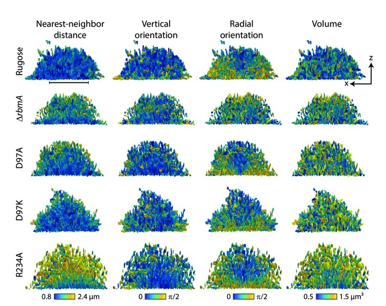 Nearest-neighbor distance, vertical orientation, radial orientation and volume of individual cell in the biofilms formed by rugose parental strain and various mutants, analyzed at single-cell resolution. In each row, the same biofilm of a particular strain, indicated on the left, is shown as an x-z -projection (see Figure 4B for a definition of the coordinate system). In each column of the figure, each cell inside a particular biofilm is colored according to either the nearest neighbor distance of the cell, the vertical orientation of the cell, the radial orientation of the cell, and the volume of each cell. The nearest neighbor distance was calculated from cell centroid to cell centroid distances. The vertical orientation of each cell was calculated as the angle of the major axis of the cell with the vertical z -direction. The radial orientation of each cell was calculated as the angle of the cell with the radial vector in spherical coordinates, with an origin at the center of mass in the x-y -plane of the biofilm. Scale bar, 20 μm.