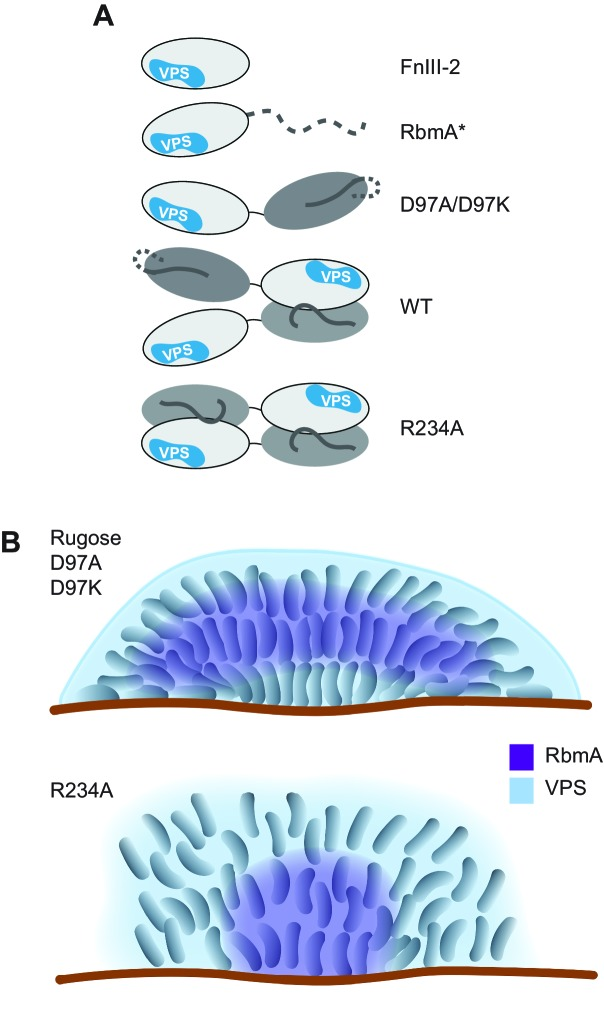 Models of various RbmA variants and their involvement in biofilm formation. ( A ) Cartoon models representing the various RbmA oligomerization and switch states. The VPS binding is indicated in blue on the FnIII-2 domain (white); dashed line indicates flexible or unfolded protein. The binary switch is represented exclusively in the open state (D-loop conformation) in the D97A/D97K mutants, and at partial occupancy in the WT protein, while the R234A mutant depicts the binary switch in its closed state (O-loop conformation). Dimeric forms of RbmA (WT, R234A) are drawn in their elongated form, as supported by small angle x-ray scattering studies in solution ( Giglio et al., 2013 ). ( B ) Cell organization and RbmA localization in the biofilms of rugose, Δ rbmA and various rbmA mutants. RbmA, represented in purple, is distributed between the surface and the center of the biofilms in rugose and D97 mutants; while in R234A mutant, RbmA localizes at the center of the biofilm with decrease abundance towards the surface. VPS represented in blue and enhanced VPS localization around the biofilm cluster is represented as a thick blue line.