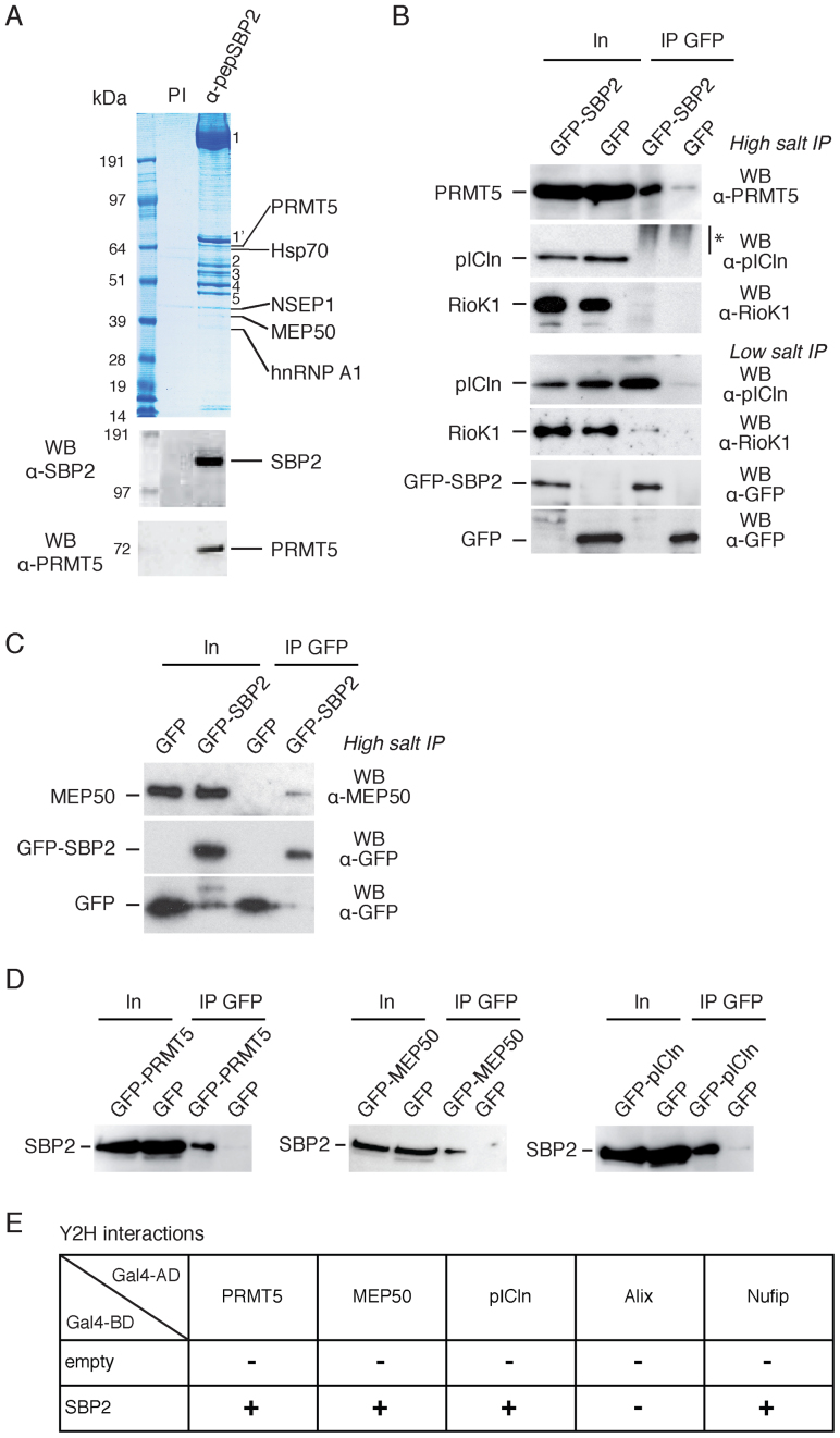 The methylosome complex interacts with SBP2 in vivo . ( A ) Immunopurification of endogenous SBP2 from HeLa cytoplasmic extracts using antipeptide antibodies (α-pepSBP2) directed against SBP2 residues 380–852. PI: beads with preimmune serum. The immunopurified proteins were identified by mass spectrometry (MS) and specific proteins are indicated on the right. Numbers represent common sepharose-matrix binding contaminants found in MS analysis ( 56 ), most of them are cytoskeletal proteins (1,1΄: Dynein chains, 2: Keratin, 3: Tubulin ß; 4: Tubulin α; 5: VASP actin associated protein). Molecular weight (kDa) is indicated. ( B–D ) Co-immunoprecipitations using anti-GFP beads and HEK293FT cells transfected by (B and C) GFP-SBP2 and (D) GFP-PRMT5, GFP-MEP50, GFP-pICln or GFP alone. Immunoprecipitations were performed in high salt (300 mM NaCl) and low salt (150 mM NaCl) conditions. The immunoprecipitated endogenous proteins were analyzed by SDS-PAGE and western blotting using the indicated antibodies. In: input (10% of total). * smear of unknown origin always present at high salt but absent at low salt. ( E ) Direct interactions between SBP2 and components of the methylosome complex. Y2H interaction tests performed in Saccharomyces cerevisiae AH109 between SBP2 and the methylosome components PRMT5, MEP50 and pICln; Nufip was used as a positive interaction control with SBP2. Experiments were performed as described Figure 1B . Data are shown in Supplementary Figure S1A .