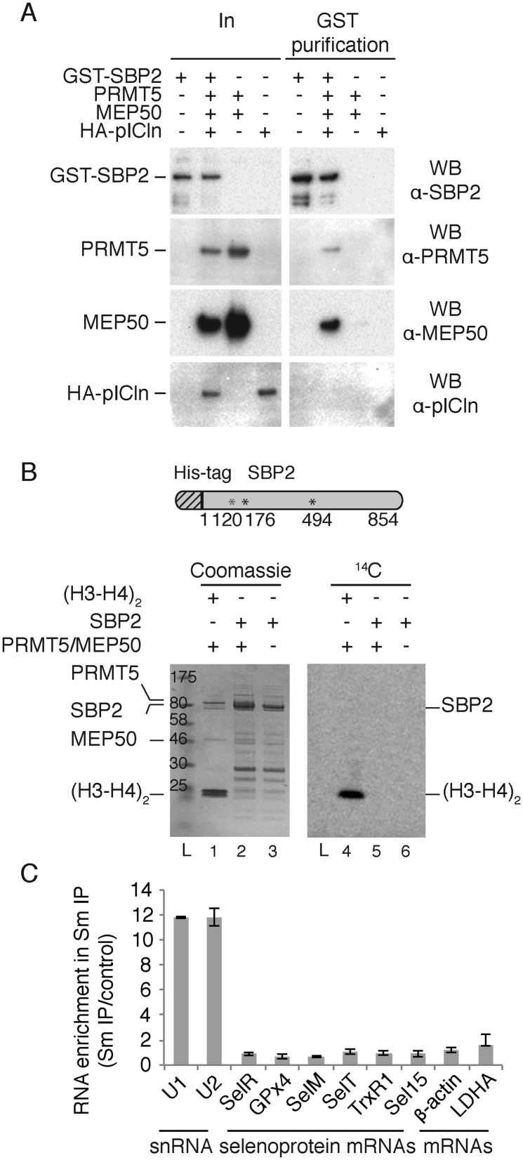 Reconstitution and activity of the SBP2/methylosome complex and functional analysis ( A ) Coexpression and purification of SBP2 associated with the methylosome complex. Recombinant baculoviruses allowing the expression of GST-SBP2, PRMT5, MEP50 and HA-pICln were used to infect Sf9 insect cells in the combinations indicated. Expression of PRMT5/MEP50 and HA-pICln alone served as negative controls. The complexes associated to GST-SBP2 were purified on Glutathione Sepharose, and the associated proteins were analyzed by SDS-PAGE and western blotting using the indicated antibodies. In: input (4% of the total cell extract). ( B ) SBP2 is not a substrate of PRMT5/MEP50. For methylation assays PRMT5/MEP50 was incubated with SBP2 or histones (H3-H4) 2 in the presence of 14 C SAM for 30 min at 37°C. The (H3-H4) 2 tetramer is a methylation substrate of the methylosome and therefore serves as a positive control. Proteins are analyzed on SDS-PAGE and revealed by coomassie staining (lanes 1–3). The radioactive methylation signal is revealed by phosphorImager after overnight exposure (lanes 4–6). The cartoon represents His-Tag SBP2 and the position of the RG sequences (*) that are potential sites of methylation. L: ladder. ( C ) Sm proteins do not bind selenoprotein mRNAs. Total RNA extracted from HEK293FT cells was immunoprecipitated with anti-Sm antibodies. qRT-PCR was used to determine the RNA enrichment in the IP experiment compared to the input extract by the ΔΔCt method. SelR, GPx4, SelM, SelT, TrxR1 and Sel15 are selenoprotein mRNAs. U1 and U2 snRNAs were used as positive controls; ß-actin and LDHA mRNAs are housekeeping mRNAs used as negative controls. Error bars represent standard deviation of an average of three independent experiments.