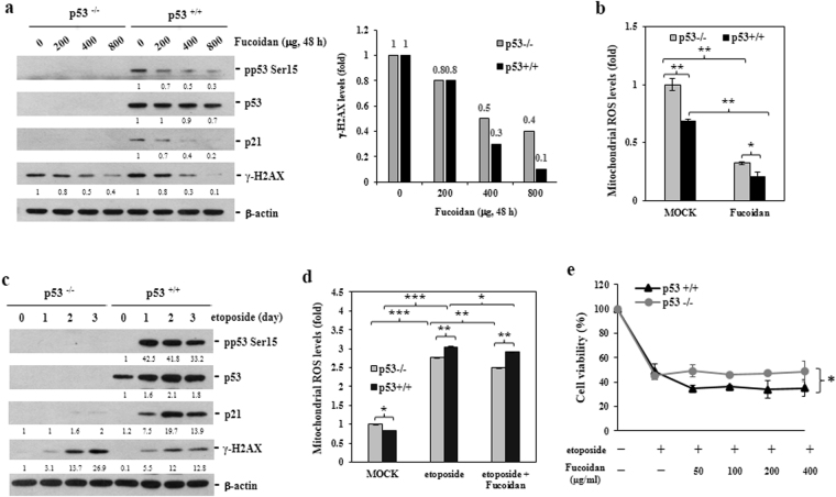 Oligo-Fucoidan prevents intrinsic DNA lesions and mitochondrial ROS generation. ( a ) HCT116 cell lines (p53 +/+ and p53 −/− ) were treated with different doses of Oligo-Fucoidan for 48 h. p53, p21 and γ-HAX expression levels were analyzed in the indicated cells. γ-HAX levels were compared between p53 +/+ and p53 −/− cells after Oligo-Fucoidan treatment. ( b ) Mitochondrial superoxide levels were detected by MitoSOX Red, followed by flow cytometry analysis, in cells treated with PBS (MOCK) or Oligo-Fucoidan (400 μg/ml) for 48 h. ( c ) p53, p21 and γ-HAX expression levels were studied in cells exposed to etoposide (40 μM) for different intervals. The protein levels were normalized to those β-actin, and the levels of their corresponding controls were set as 1. ( d ) Mitochondrial superoxide levels were measured after etoposide (40 μM) and Oligo-Fucoidan (400 μg/ml) administration or etoposide treatment alone for 48 h. ( e ) Cell viability was analyzed after the indicated cells being treated with etoposide alone or co-treated with different concentrations of Oligo-Fucoidan for 48 h. The data represent the mean ± SD of three independent experiments. *p