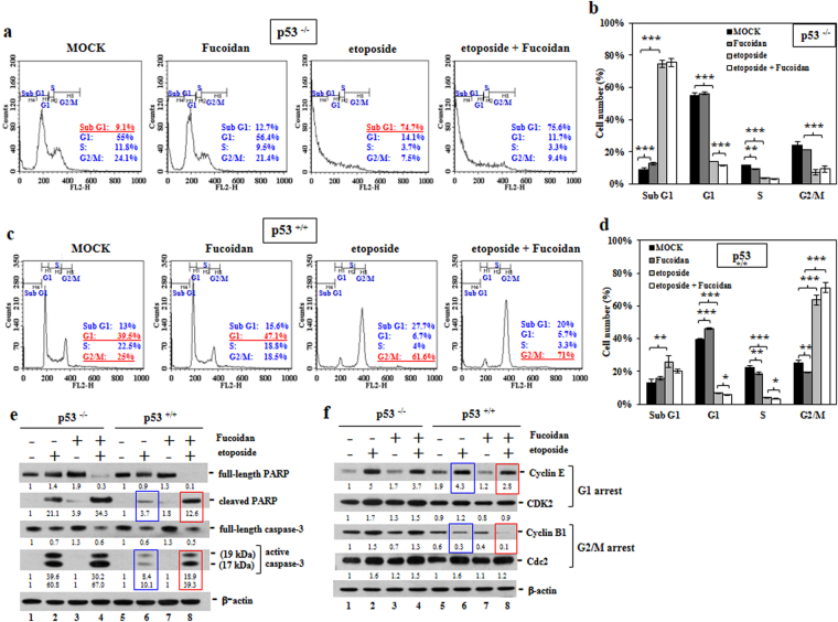 Oligo-Fucoidan and p53 cooperate to regulate DNA damage checkpoints. HCT116 cells were treated with PBS, Oligo-Fucoidan (400 μg/ml) and/or etoposide (40 μM) for 48 h. ( a ) The p53 −/− cell cycle profile was characterized. ( b ) Histograms reveal comparisons of the p53 −/− cell cycle profiles under different experimental settings. ( c ) The p53 +/+ cell cycle profile was assessed. ( d ) Histograms display comparisons of the p53 +/+ cell cycle profiles under different treatment conditions. ( e ) The levels of the indicated apoptotic markers (cleaved PARP and active caspase 3) and their intact molecules were examined. ( f ) The molecules responsible for regulating the G1 and G2/M checkpoints were characterized. The data represent the mean ± SD of three independent experiments. *p
