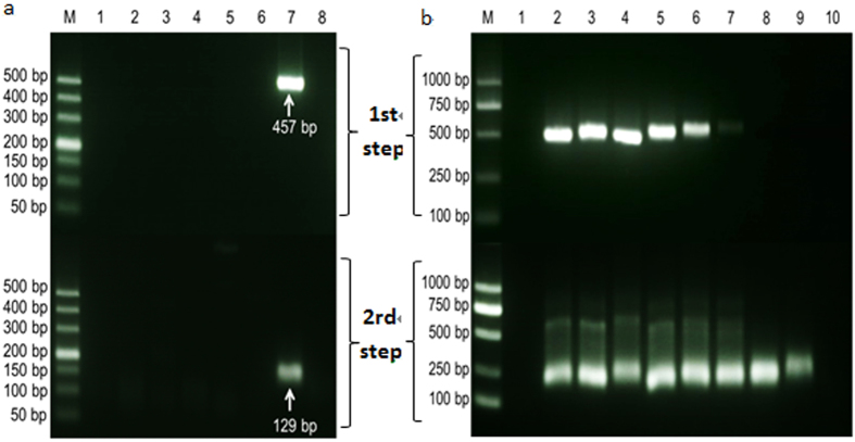 Detection of the shrimp hemocyte iridescent virus with the nested PCR method. ( a ) Specificity analysis of the nested PCR method. M, DL500 molecular mass marker; Lanes 1–6: PCR amplified products with DNA template samples extracted from health L. vannamei and L. vannamei infected with WSSV, IHHNV, HPV, AHPND, and EHP, respectively; lane 7: PCR amplified products with DNA template sample extracted from shrimp infected with the iridescent virus; and lane 8: negative control. ( b ) Sensitivity test of the nested PCR method. M, DL1000 molecular mass marker; Lane 1: negative control; Lines 2–10: PCR amplified products with the diluted DNA solutions (10 0 –10 −8 ) of L. vannamei naturally infected with the shrimp iridescent virus.