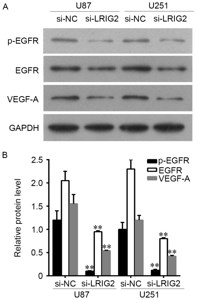 Downregulation of LRIG2 decreased the expression of EGFR and VEGF-A. (A) The protein expression level of EGFR, p-EGFR and VEGF-A were assessed by western blot assay. (B) The densitometry data of western blotting. **P