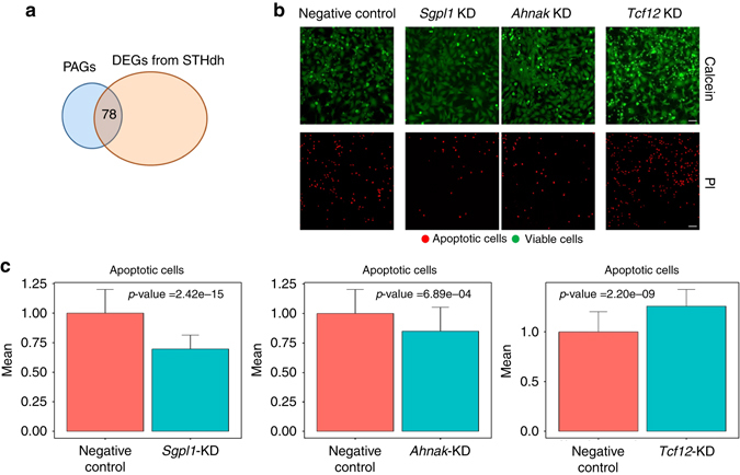 High-ranked upregulated PAGs are modifiers of cellular viability. a 78 overlapping genes were identified between human PAGs and STHdh DEGs. b Knocking-down high-ranked upregulated genes significantly alters apoptosis in STHdh Q111 cells compared to cells <t>transfected</t> with negative control <t>siRNA.</t> Calcein ( green ) stains viable cells, while propidium iodide (PI— red ) is a marker for late apoptotic cells. Scale bar =10 μm. c The number of apoptotic cells is represented as fold changes normalized to the control. Two-tailed t -test was performed to calculate statistical significance. The bar shows the mean value and the error bars indicate the standard deviation. Three independent experiments were performed, with 15 replicates each
