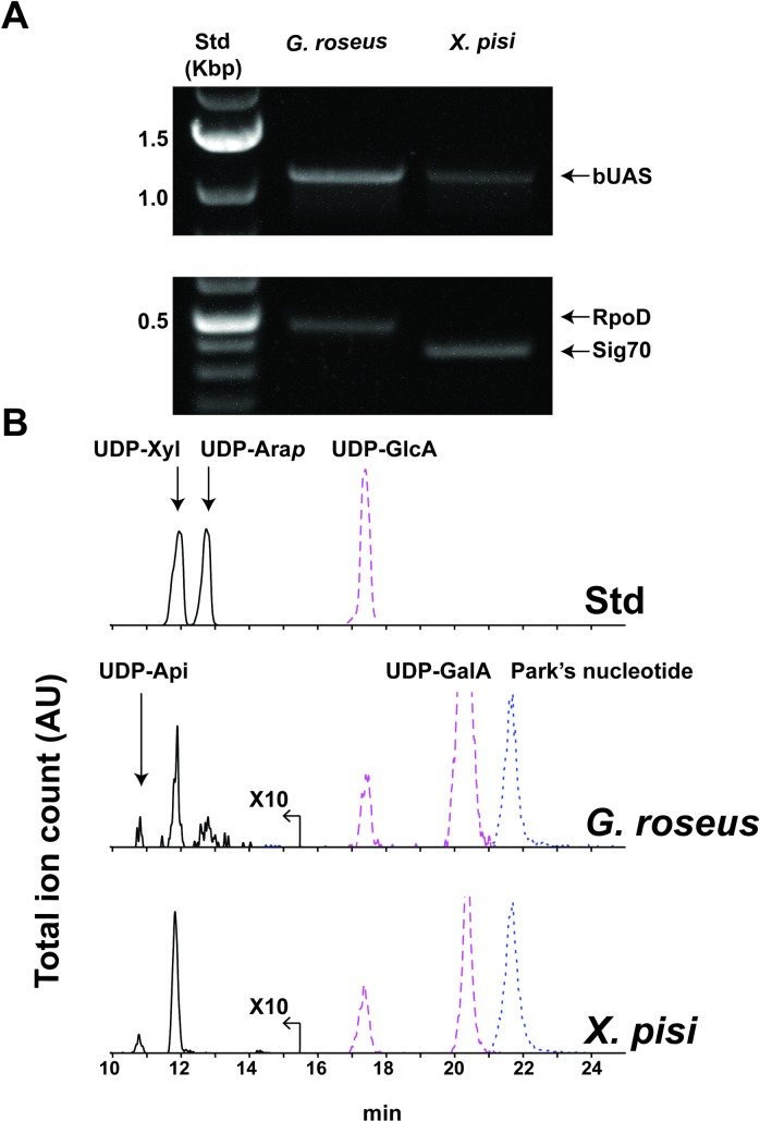 Detection of bUAS transcripts and UDP-apiose. In vivo indication for the functional activity of bUAS genes and enzymes. (A) RT-PCR analyses showing bUAS transcripts of G . roseus and X . pisi . (B) HILIC-LC-ESI-MS/MS analysis of aq-methanolic (MeOH:chloroform:H 2 O; 40:40:20, v/v/v) extracts. Negative mode [M-H] - ions diagnostic for UDP-pentose ( m/z 535.0, solid line; amplified by a factor of 10), UDP-hexuronic acid ( m/z 579.0, dashed line) and Park's nucleotide ( m/z 595.6, dotted line) are displayed.