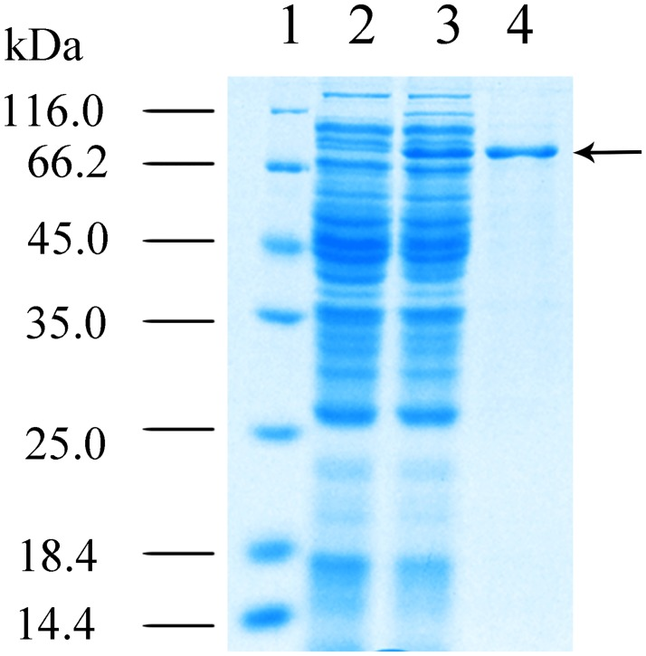 12% (w/v) SDS-PAGE analysis of recombinant Ldc1E. Lane 1, molecular mass standards. Lane 2, total protein of E . coli BL21 (DE3) pLysS harboring empty pET30a(+) (control). Lane 3, total protein of E . coli BL21 (DE3) pLysS harboring the recombinant ldc1E in pET30a(+). and Lane 4, protein was purified using the Ni-NTA column method. The black arrow indicates the recombinant Ldc1E.
