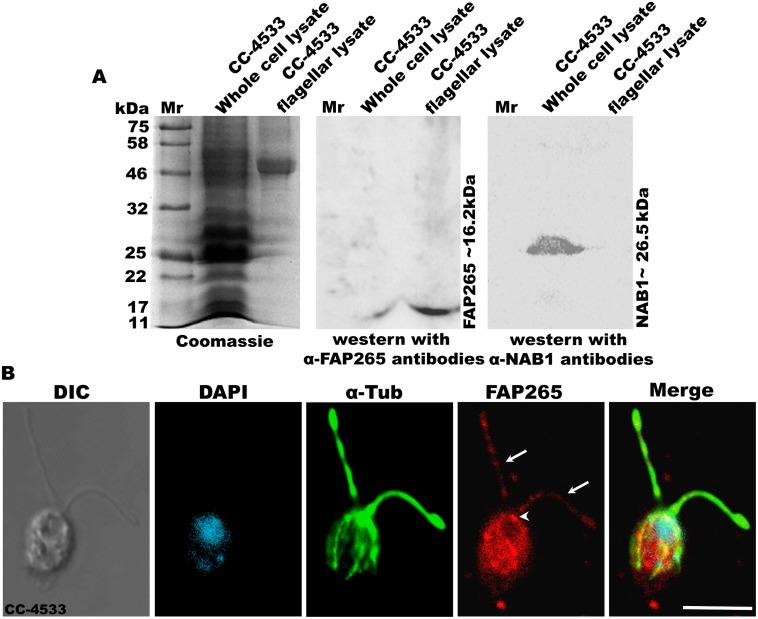 FAP265 localizes in flagella, basal bodies and cytoplasm in vegetative Chlamydomonas cells. (A) Coomassie gel showing lysates from whole cell and flagella of CC-4533 cells, separated on 12% SDS-PAGE. Western blotting using antibodies generated against recombinant FAP265 detects a specific band at ~16.2 kDa both in whole cell and flagellar fractions. Further, the blots were also probed with antibodies against NAB1 (Cytosolic marker). (B) Vegetative cells of wild type CC-4533 stained with antibodies against α-tubulin (green) and FAP265 (red). Arrows mark flagella and arrow head marks basal bodies. Nuclei were stained with DAPI (cyan). Scale: 10μm.