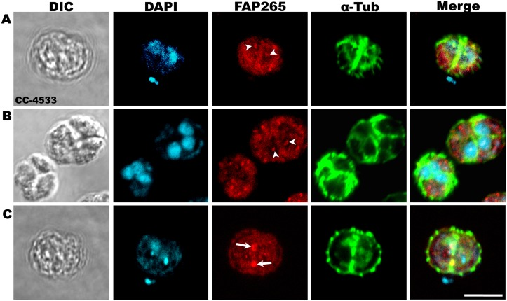 FAP265 localizes in the nucleus, (A, B) and at the cleavage furrow (C) in dividing CC-4533 cells. CC-4533 cells at different stages of cell division were fixed in methanol and stained with antibodies against α-tubulin (green) and FAP265 (red). Arrow heads mark nucleus and arrows mark cleavage furrow. Nuclei were stained with DAPI (cyan). Scale: 10μm.