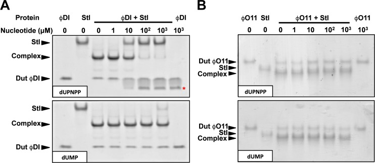 The dUTP substrate but not the dUMP product reduces the Dut-Stl interaction. Native-Page gels were performed to analyze the effect of the substrate and product on the interaction of two inducing dimeric Duts, (A) ϕDI and (B) ϕO11, with Stl. Increasing concentrations (from 0 to 1000 μM) of dUPNPP (top gels) or dUMP (down gels) were added to equimolecular concentrations of each Dut with Stl, and the Dut-Stl complex formation was evaluated by Native-PAGE. Notice the reduction of the Stl-Dut complex band when the dUTP analogue but not the dUMP product was present. For ϕDI a new band (labeled with a red asterisk) corresponding to the complex between dUPNPP and the Dut can be observed when the Stl-Dut complex disappears. For each experiment a representative gel of 3 independents assays is shown.
