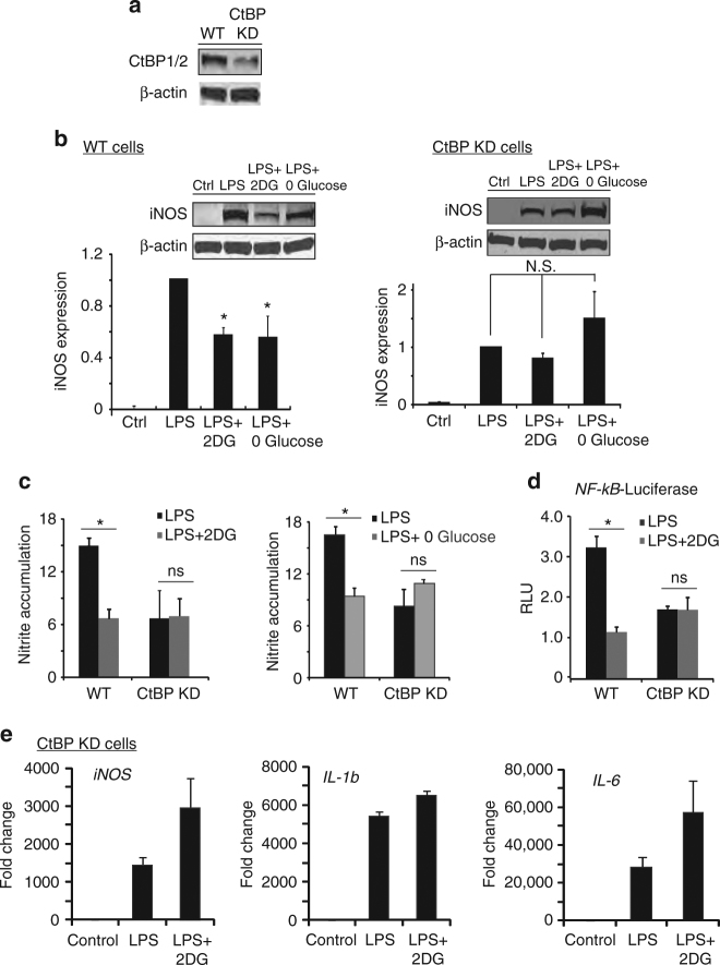 Knockdown of <t>CtBP</t> eliminates the effects of 2DG and glucose-free medium. a Representative western blot showing reduced expression of CtBP1/2 protein in RAW264.7 cells transfected with shRNA targeting CtBP1 and CtBP2 (CtBP KD). Full length immunoblots are shown in Supplementary Fig. 3 . b , c shRNA knockdown of CtBP1/2 negates the effect of both 2DG and glucose-free medium on LPS-induced <t>iNOS</t> expression and nitric oxide production. Results for wild-type (WT) cells were normalized to control (no LPS) WT cells, and results for CtBP knockdown cells (CtBP KD) were normalized to control CtBP KD cells. n = 4; * p