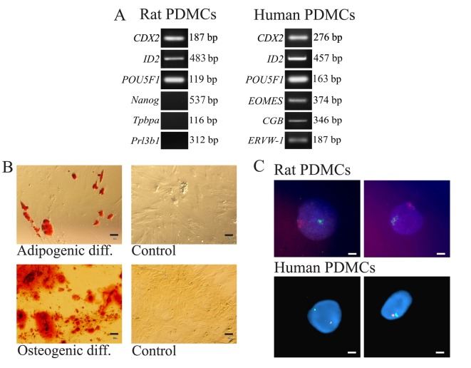 Characteristics of PDMCs. (A) Representative data of reverse transcription- polymerase chain reaction analysis of rat (n=10) and human (n=4) PDMCs for stemness- and trophoblast-related transcripts. (B) Differentiation of rat PDMCs into multiple lineages. Adipogenic differentiation is demonstrated by the accumulation of intracellular lipid droplets stained by Oil Red O. Osteogenic differentiation is demonstrated by the deposition of extracellular calcium visualized through Alizarin Red S staining. Negative control cells were grown in Dulbecco's modified Eagle medium supplemented with 10% fetal bovine serum; no Alizarin Red S or Oil Red O staining was observed. Scale bar, 50 µm. (C) Representative data of fluorescence in situ hybridization analysis of rat (n=3) and human (n=3) PDMCs at the 3rd passage for X (orange)/Y (green) chromosome. Scale bar, 10 µm. PDMCs, placenta-derived multipotent cells; CDX2, caudal type homeobox 2; ID2, inhibitor of DNA binding 2; POU5F1, POU class 5 homeobox 1; Tpbpa, trophoblast specific protein α; Prl3b1, prolactin family 3, subfamily b, member 1; EOMES, eomesodermin; CGB, choriogonadotropin subunit-β; ERVW-1, endogenous retrovirus group W envelope member 1.