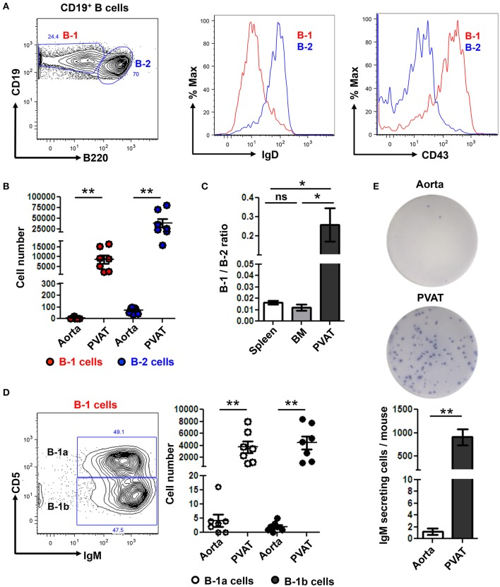 IgM secreting B-1 cells reside in PVAT. (A) Gating strategy of B-1 (CD19 + , B220 lo- mid ) and B2 (CD19 + , B220 hi ) cells. B-1 (IgD − CD43 + ) and B-2 (IgD + CD43 − ) cells were further confirmed based on surface expression of IgD and CD43. (B) Quantification of total numbers of B-1 and B-2 cells in the aorta and PVAT. (C) Comparative ratio of B-1 to B-2 cells in spleen, bone marrow (BM) and PVAT. (D) B-1a and B-1b cells were gated from total B-1 cells and absolute numbers were quantified in aorta and PVAT of young ApoE −/− mice. (E) IgM antibody production was measured by ELISPOT in aorta and PVAT of Chow diet fed young ApoE −/− mice ( n = 7) (representative plate and quantitation). Results are mean ± SEM, unpaired student t -test was performed. Repeated measures one way ANOVA with Bonferroni's multiple comparison post-test was used to compare multiple groups ( * p