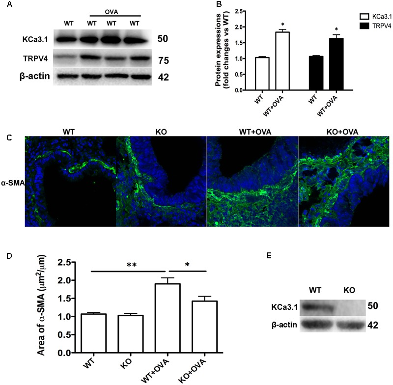 Gene deletion of KCa3.1 prevented OVA-induced up-regulation of α-SMA. (A) The KCa3.1 and TRPV4 proteins expressions in the lung sections from WT and WT + OVA groups mice. (B) Data were presented as means ± SEM ( n = 5). ∗ p