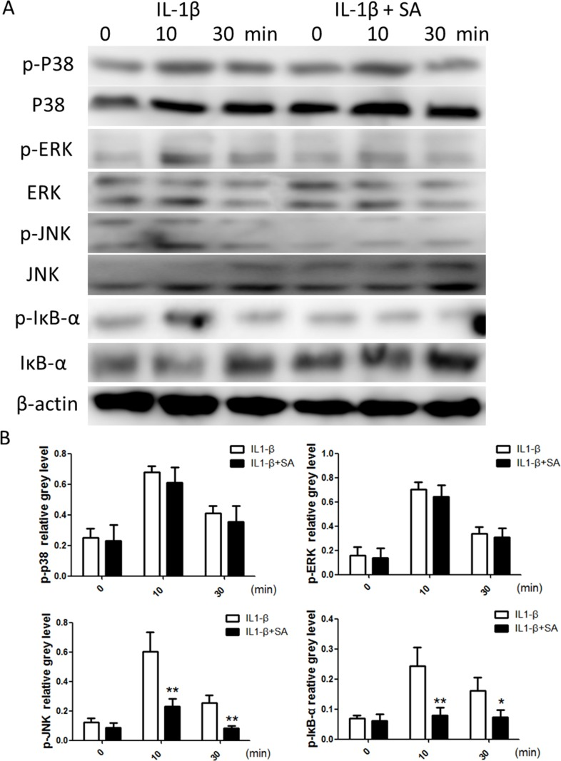 Sanguinarine (SA) inhibits interleukin (IL)-1β-induced nuclear factor (NF)-κB and c-Jun N-terminal kinase (JNK) activation in chondrocytes (A) Chondrocytes were treated with or without 1.25 μm SA for 4 h and then 10 ng/mL IL-1β for indicated time. Phosphorylated (p)-p38, extracellular signal-regulated kinase (ERK), JNK, inhibitor of NF-Κb (IκB)-α, total p38, ERK, JNK, IκB-α, and β-actin were evaluated using western blot analysis. (B) Signal intensities of p-P38, ERK, JNK, and IκB-α were quantified and normalized to total ERK, P38, JNK, and IκB-α using ImageJ, n = 6, *p