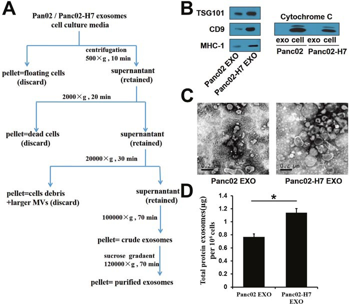 Characterization of Panc02- and Panc02-H7-derived exosomes Exosome isolation and purification schematic. (A) Common exosome markers, including TSG101, CD9, and MHC-I, were detected in two exosomes. (B) Cytochrome c was detectable in two whole-cell lysates, but not in exosomes. Panc02 EXOs and Panc02-H7 EXOs were negatively stained with 3%phosphotungstic acid and viewed by TEM (scale bar=200 nm). (C) Total protein per million cells in two exosomes. (D) Panc02-H7EXOs expressed more total protein than Panc02 EXOs.(*P