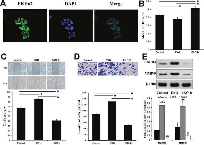 Panc02-H7-derived exosomes promote metastatis-related characteristics in vitro Panc02 cells tookup PKH67-labeled Panc02-H7EXOs. Numerous green fluorescently-labeled exosomes were observed inside cells after 5 h (400× magnification). (A) The MTT cell adhesion assay indicated that Panc02-H7 EXOs decrease Panc02 cell adhesion. (B) Wound-healing assays indicated that Panc02-H7 EXOs enhanced Panc02 cell migration (200×magnification). (C) Transwell chamber invasion assays showed that Panc02-H7 EXOs increased Panc02 cell invasion (200×magnification). (D) Western blotting indicated that Panc02-H7 EXOs increased Panc02 cell migration and invasion via CXCR4 and MMP-9 signaling. (E) n=3/group.*P