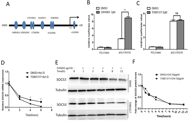 Activation of LXR enhances the stability of SOCS3 mRNA (A) The potential LXREs in human SOCS3 gene promoter region were predicted using bioinformatic analysis ( http://www.nubiscan.unibas.ch/ ). (B, C) After transiently transfected with pRL-TK and pGL3-SOCS3 (or the control pGL3-basic) for 12 h, HepG2 cells were treated with 2 μM GW4064 or 5 μM TO901317 (or DMSO) for 18 h. Then the luciferase activity of SOCS3 gene promoter region was detected by dual luciferase reporter assay system. Data represent the mean ± SD of triplicate experiments. (D) After treated with DMSO or TO90137 (5 μM) for 12 h, HepG2 cells were incubated with actinomycin D (Act D, 10 μg/ml) for the indicated times. Then the mRNA level of SOCS3 was examined by qPCR. (E) HepG2 cells were treated with TO901317 (5 μM) for 12 h, followed by the incubation with 50 μg/ml cycloheximide (CHX) for the indicated times. Then the level of SOCS3 protein was assayed by Western blot. (F) The quantitative analysis of the Western blot results in (E) using quantity-one software. The relative value of SOCS3 protein level was normalized by the control tubulin. * P