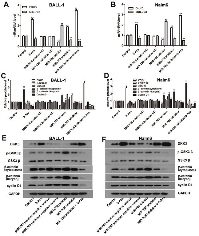 5-Aza and the miR-708 inhibitor increased DKK3 expression and inhibited the Wnt signaling pathway in the B-ALL cell lines (A and B) . DKK3 mRNA and miR-708 expression were altered when the cells were treated with 5-aza and the miR-708 inhibitor. (C and D) Expression of β-catenin (cytoplasmic and nuclear), cyclin D1, GSK3β and p-GSK3β in the B-ALL cell lines after treatment with 5-aza and the miR-708 inhibitor, as determined by western blotting. The graphs show the corresponding band intensities of β-catenin, cyclin D1, GSK3β and p-GSK3β normalized to GAPDH and compared with the control. (E and F) . The images represent β-catenin (cytoplasmic and nuclear), cyclin D1 GSK3β and p- GSK3β expression in BALL-1 cells after treatment with 5-aza and the miR-708 inhibitor/mimics or negative controls (NC), as determined by western blotting. The data are presented as the means ± SDs of triplicate experiments. * P