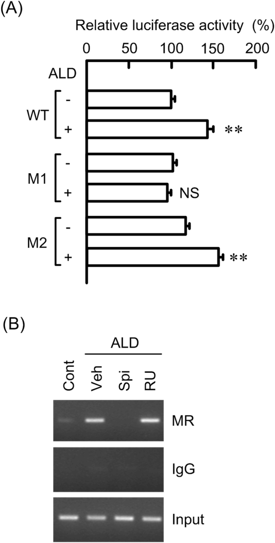 Binding of MR to claudin-2 promoter by ALD. ( A ) Promoter luciferase constructs of claudin-2 including wild type (WT), mutant of SRE-1 (M1), and mutant of SRE-2 (M2) were co-transfected with pRL-TK vector into the cells. After 40 h of transfection, the cells were incubated in the presence and absence of 50 nM ALD for additional 8 h. The relative promoter activity was represented as the percent of WT in the absence of ALD. ( B ) Nuclear proteins were prepared from the cells treated with 50 nM ALD for 1 h in the presence and absence of 10 μM spironolactone (Spi) or 10 μM RU-486 (RU). Control cells (Cont) were not treated with these drugs. Vehicle (Veh) was treated with dimethylsulfoxide. After immunoprecipitation of genomic DNA by anti-MR antibody or rabbit IgG, semi-quantitative PCR was performed using the primers amplifying the MR binding site of claudin-2 promoter. Input chromatin was used for loading control. Statistical comparison was made by t test. ** P