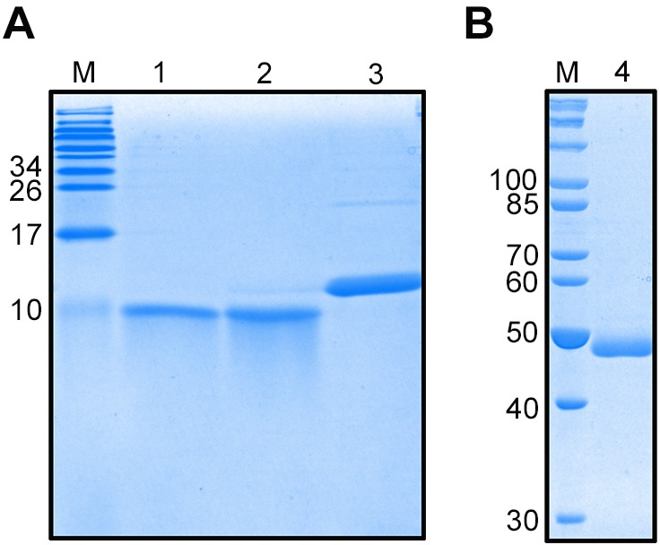 Expression and purification of the extracellular and intracellular regions of recombinant CHH, EsGLUT4 and the CHHBP protein. The purified recombinant proteins were subjected to SDS-PAGE and stained with Coomassie Brilliant Blue R-250. Lane M: protein molecular weight standard. Lane 1: CHH protein. Lane 2: extracellular region of EsGLUT4. Lane 3: intracellular region of EsGLUT4. Lane 4: CHHBP protein.