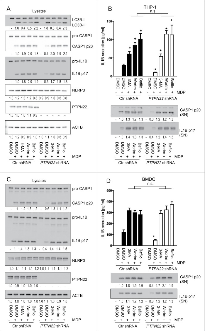 Reduction of IL1B secretion upon loss of PTPN22 is not observed in autophagy-deficient cells. PMA-differentiated THP-1 cells expressing either control, or PTPN22 -specific <t>shRNA</t> (A and B), and BMDC from wild-type (WT) or PTPN22 deficient ( ptpn22 −/− ) mice (C and D) were treated with 3-MA (1 mM), (Wortm; 10 uM), or bafilomycin A 1 (Bafilo; 100 nM) to inhibit autophagy, 1 h before treatment with muramyl dipeptide (MDP, 100 ng/ml) for 24 h. The graphs show (A)and (C): representative western blot pictures of the indicated proteins and (B and D): results from IL1B ELISA. Data are representative for 1 out of 3 independent experiments with 3 replicates (n = 3). Numbers below the western blot pictures show results of densitometric measurements. * = p