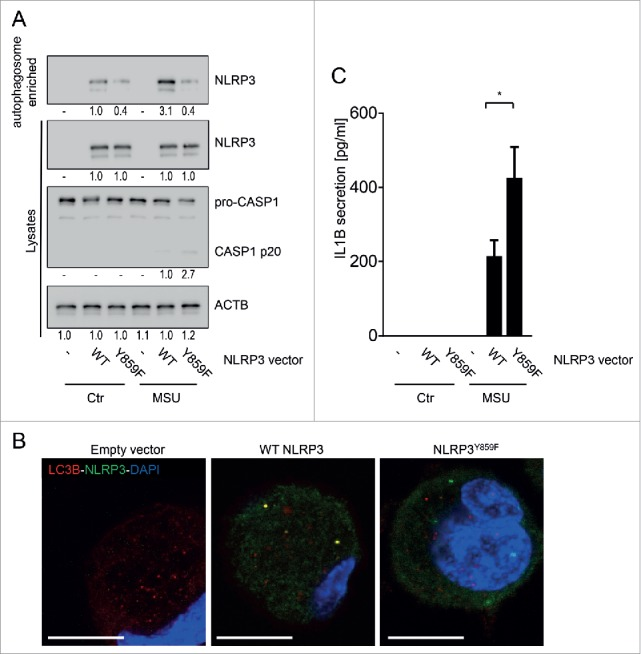 NLRP3 lacking the phosphorylation site is not recruited to phagophores. BMDC from nlrp3 −/− mice were transfected with a wild-type (WT) Nlrp3 expression vector, or a Nlrp3 construct where Tyr859 in NLRP3 is replaced with a phenylalanine (Y859F; Y > F) to abolish NLRP3 phosphorylation. The cells were primed for 16 h with upLPS to induce NLRP3 and IL1B expression, before activation with MSU (150 µg/ml) for 6 h. Shown is (A) representative western blot pictures from cell lysates and autophagosome-enriched fractions, (B) confocal microscopy of LC3B (red) and NLRP3 (green) immunostained cells; blue: DNA stained with DAPI, scale bar: 10 μm; and (C) IL1B in the cell culture supernatant. Data are representative for 1 out of 3 independent experiments with 3 replicates each (n = 3), except for confocal microscopy where the experiment has been performed only twice with 3 replicates. Images are representative for at least 5 scanned areas for each depicted condition. Numbers below the western blot pictures show results of densitometric measurements. * = p