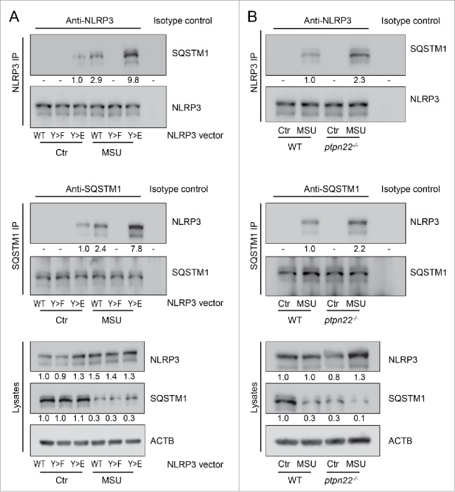 NLRP3 interacts with SQSTM1 upon its activation. (A) BMDC from nlrp3 −/− mice were transfected with a wild-type (WT) Nlrp3 expression vector, a Nlrp3 construct where Tyr859 in NLRP3 is replaced with a phenylalanine (Y859F; Y > F) to abolish NLRP3 phosphorylation, or with a phsopho-mimetic NLRP3, where Tyr859 was replaced with a glutamate (Y859E; Y > E). The cells were primed for 16 h with upLPS to induce NLRP3 and IL1B expression, before activation with MSU (150 µg/ml) for 6 h. NLRP3 or SQSTM1 were precipitated from the lysate and probed for the indicated proteins. (B) BMDC from WT or ptpn22 −/− cells were primed for 16 h with upLPS to induce NLRP3 and IL1B expression, before activation with MSU (150 µg/ml) for 6 h. NLRP3 or SQSTM1 were precipitated from the lysate and probed for the indicated proteins. Data is representative for 1 out of 3 independent experiments with 3 replicates each (n = 3). Numbers below the western blot pictures show results of densitometric measurements.