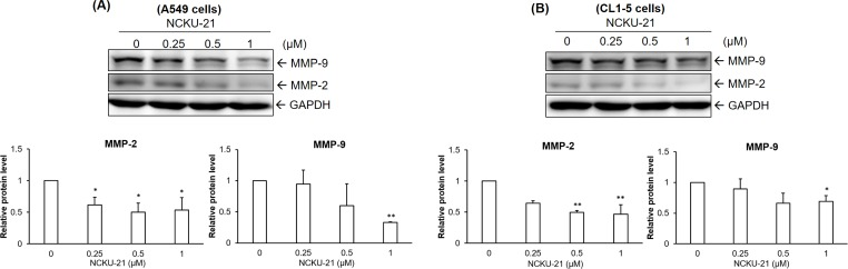 Regulation of cell migration-associated proteins by NCKU-21 in A549 and CL1-5 cells. Protein expressions of matrix <t>metalloproteinase-2</t> (MMP-2) and MMP-9 were analyzed in A549 (A) and CL1-5 (B) cells treated with NCKU-21 for 24 hr. * P