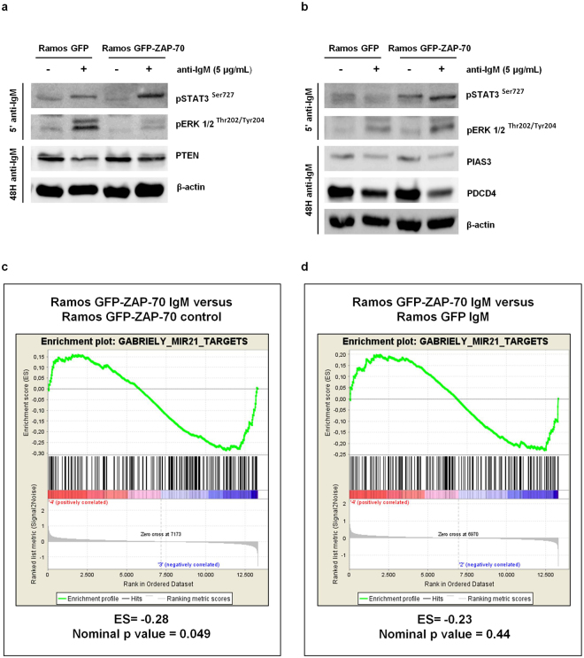 The tumor suppressor genes PTEN, PDCD4 and PIAS3, targeted by miR-21, are downregulated after BCR stimulation. ( a,b ) Ramos stable transfectants were stimulated with 5 µg/mL F(ab') 2 anti-IgM for 5 minutes and 48 hours. Enhanced STAT3 and ERK1/2 phosphorylation was observed in IgM-BCR stimulated cells for 5 minutes. PTEN, PIAS3 and PDCD4 downregulation was observed in IgM-BCR stimulated cells after 48 hours. ( c,d ) Gene set enrichment analysis (GSEA) for Gabriely_miR-21_targets gene set (N = 289). The panel shows GSEA of Ramos GFP-ZAP-70 stimulated with 5 µg/mL F(ab') 2 anti-IgM for 4 hours versus Ramos GPF-ZAP-70 unstimulated ( c ). The enrichment plot shows GSEA of Ramos GFP-ZAP-70 versus Ramos GFP cells, both stimulated with 5 µg/mL F(ab') 2 anti-IgM for 4 hours ( d ). ES: enrichment score.