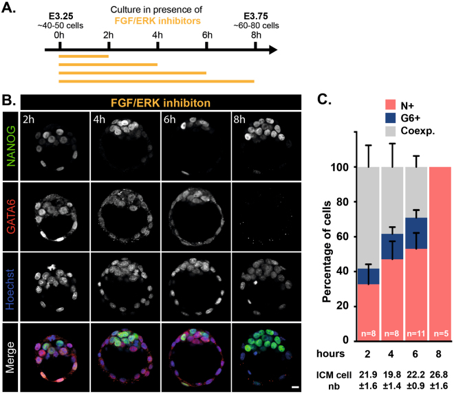 The conversion of ICM into Epi cell lineage requires a 8 hours time period of FGF/ERK inhibition starting from E3.25. ( A ) Schematic of the time schedule of inhibitor treatment. ( B ) Immunodetection of NANOG (green) and GATA6 (red) in embryos cultured for the indicated periods of time. Pictures correspond to a projection of 5 confocal optical slices. Scale bar: 20 µm. ( C ) Distribution of ICM cells expressing NANOG (N+, red), GATA6 (G6+, blue) or both markers (Coexp., grey) in embryos cultured for the indicated period of times. Error bars indicate SEM. n , number of embryos analyzed.
