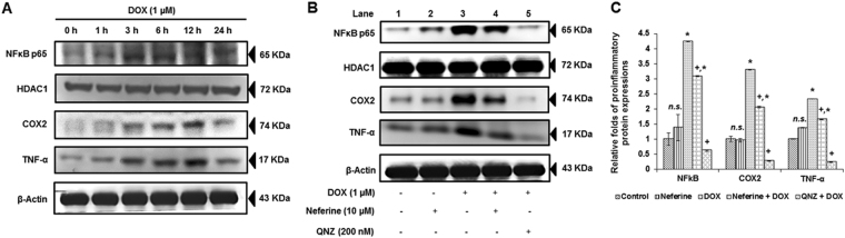 Effect of neferine and DOX on the pro-inflammatory transcription factor, NFκB p65 and its downstream regulators, <t>COX2</t> and TNF-α ( A ) Time dependent expression patterns of NFκB (nuclear extract) and COX2 and TNF-α (cytoplasmic extract) (0 h, 1 h, 3 h, 6 h, 12 h and 24 h). ( B ) DOX-induced nuclear translocation of NFκB, expression of COX2 and TNF-α was reduced by neferine treatment. Results were confirmed in the presence of NFκB inhibitor (QNZ). ( C ) Densitometry analysis of the protein bands of NFκB, COX2 and TNF-α. The results shown are mean ± s.d. of three individual experiments. * p