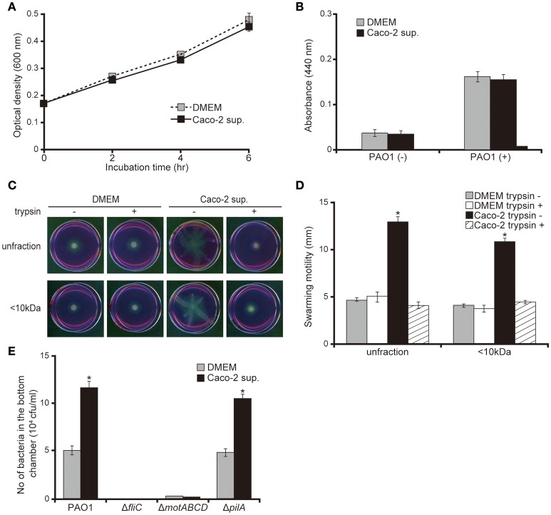 Caco-2 cell supernatant facilitates a swarming motility of the P. aeruginosa PAO1 strain. (A) The P. aeruginosa PAO1 strain was incubated in Caco-2 cell supernatant (Caco-2 sup.) or Dulbecco's modified Eagle medium (DMEM; control) at 37°C in 5% CO 2 . After incubation, the optical density (600 nm) of the culture was measured at the indicated times. Error bars indicate standard error ( n = 3). (B) After incubation of the P. aeruginosa PAO1 strain in Caco-2 cell supernatant (Caco-2 sup.) or DMEM (control) at 37°C in 5% CO 2 for 5 h, the azocasein degradation activity of the collected culture supernatant was measured. Error bars indicate standard error ( n = 3). (C) A 15-day Caco-2 cell supernatant (Caco-2 sup.) and DMEM (control) were filtered through 10-kDa MW cut-off membranes. The