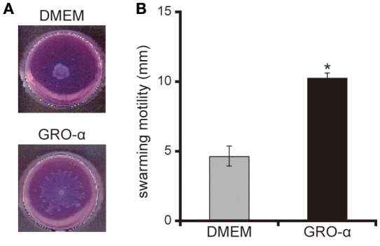 GRO-α facilitates a swarming motility of the P. aeruginosa PAO1 strain. (A) The P. aeruginosa PAO1 strain was spotted on swarming agar containing growth regulated oncogene -α or Dulbecco's modified Eagle medium (DMEM; control). After incubation for 14 h, the swarming agar plate was observed and photographed. (B) The radial distance (mm) from the center of the agar was measured. Error bars indicate standard error ( n = 3). * P