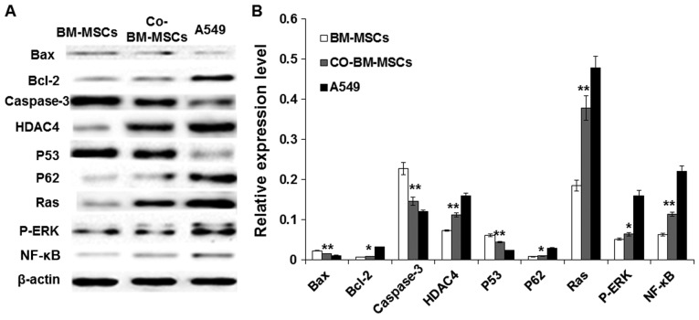Western blot analysis of the expression of proteins involved in proliferation and differentiation in the different cell groups. (A) Western blotting identified the differential protein expression of Bax, Bcl-2, caspase-3, P53, P62 (c-Myc), Ras, P-ERK and NF-κB in BM-MSCs, co-BM-MSCs and A549 cells. β-actin was used as a loading control. (B) Relative levels of Bcl-2, Bax, caspase-3, HDAC4, P53, P62 (c-Myc), Ras, P-ERK and NF-κB expression in BM-MSCs, co-BM-MSCs and A549 cells. Compared with the BM-MSC group, levels of Ras, P-ERK, NF-κB, P62 and Bcl-2 expression in the co-BM-MSCs group were significantly increased and the levels of P53, Bax and caspase-3 expression decreased significantly. Data are presented as the mean ± standard deviation of three individual experiments and calculated as relative levels of controls. *P