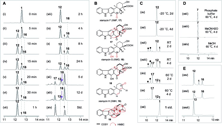 Time course of the XiaK reaction and stabilities of XiaK products. (A) HPLC analysis of the time course assay of an in vitro XiaK reaction: (i) 0 min (before adding XiaK); (ii) 5 min; (iii) 10 min; (iv) 15 min; (v) 20 min; (vi) 30 min; (vii) 1 h; (viii) 2 h; (ix) 4 h; (x) 8 h; (xi) 24 h; (xii) 5 days; (xiii) 12 days; (xiv) 1 and 17 standards. (B) Chemical structures of XMA analogues. (C) Stability of 12 dissolved in 50 mM Na 2 HPO 4 –NaH 2 PO 4 buffer (pH 8.0): (xv) –20 °C for 2 days; (xvi) –20 °C for 4 days; (xvii) room temperature (RT) for 2 days; (xviii) RT for 4 days; (xix) 60 °C for 2 days; (xx) 60 °C for 4 days; (xxi) XMA ( 1 ) standard. The filled black circles () denote multiple XMA-related products which were not isolated for structure elucidation. (D) Stability of OXM ( 7 ) treated under various conditions: (xxii) OXM ( 7 ) dissolved in 50 mM Na 2 HPO 4 –NaH 2 PO 4 buffer (pH 8.0) and incubated at 60 °C for 4 days; (xxiii) 7 dissolved in H 2 O/MeCN (1 : 1, v/v) and incubated at 60 °C for 4 days; (xxiv) 7 dissolved in MeOH and incubated at 60 °C for 4 days. (E) Stability of 16 : (xxv) a complete XiaK assay at 28 °C for 6 h; (xxvi) 16 isolated from an analytical XiaK assay (in trace xxv) immediately used for HPLC analysis; (xxvii) NOXM ( 12 ) isolated from an analytical XiaK assay (in trace xxv) immediately used for HPLC analysis.