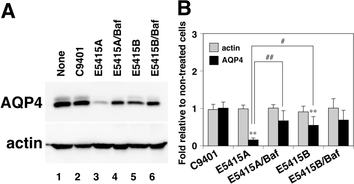 Effect of mAbs on levels of endogenous AQP4 in primary cultured astrocytes. (A) Representative immunoblots of lysates treated with 1 µg/ml of C9401 (lane 2), E5415A (lanes 3 and 4), or E5415B (lanes 5 and 6) in the absence (lanes 2, 3, and 5) or presence (lanes 4 and 6) of 500 nM <t>bafilomycin</t> A1 at 37 °C for 24 h using anti-AQP4 (upper panel) or anti-actin (lower panel) antibody. (B) Effect of E5415A or E5415B on levels of endogenous AQP4 (black column) and actin (grey column). Values are determined by Western blotting and estimated as fold relative to non-treated cells (A, lane 1). **( P