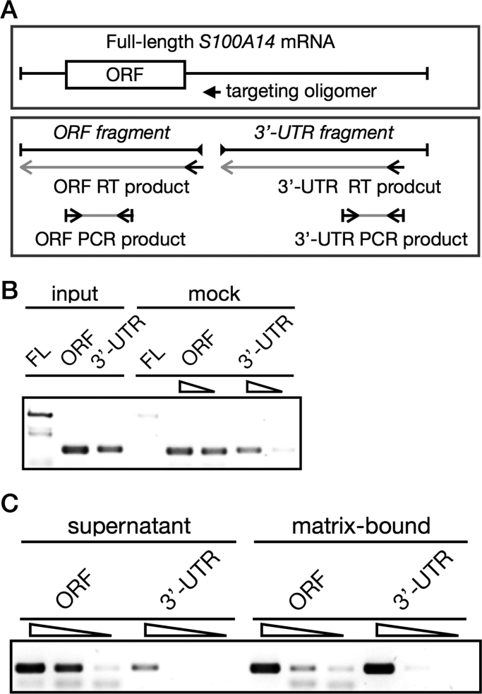 SOX2 interacts with the 3′-UTR of the S100A14 mRNA in vivo . (A) The diagram depicts the annealing positions of the targeting oligomer for RNase H digestion and the primers for reverse transcription and PCR detection of the ORF and 3′-UTR fragments. (B) FLAG-SOX2 was transiently expressed in BFTC905 cells for 48 h, followed by the CLIP assay. The matrix-bound mRNA was incubated at 37 °C with RNase H in the absence of the targeting oligomer for 30 min. The mock-treated matrix-bound mRNA was then purified and reverse-transcribed. The full-length, ORF, and 3′ fragments of the S100A14 mRNA were detected by RT-PCR. (C) After immunoprecipitation, the matrix-bound mRNA was subject to oligomer-dependent RNase H digestion at 37 °C for 30 min. The ORF and 3′-UTR fragments of the S100A14 mRNA in the supernatant and bound to the matrix were recovered, reverse transcribed, and detected by semi-quantitative PCR.