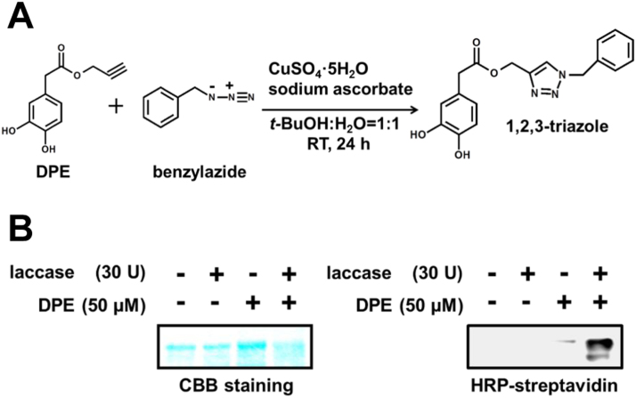 CuAAC reaction of DPE with an azide-linked tag molecule. (A) Formation of 1,2,3-triazole by CuAAC reaction with DPE and benzyl azide. (B) Detection of GAPDH tagged by CuAAC reaction with DPE and the azide-labeled biotin. GAPDH (1 mg/ml) was incubated with or without 50 µM DPE in the presence or absence of 30 U laccase in 70 mM sodium phosphate buffer (pH 7.2) for 1 h at 37 °C. DPE-tagged GAPDH was detected by CBB staining (left) and HRP-streptavidin (right).