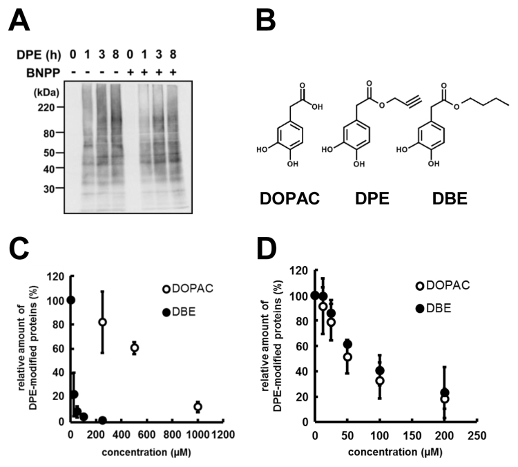Detection of the intracellular DPE-modified proteins. (A) Detection of the DPE-modified proteins in Hepa1c1c7. Confluent Hepa1c1c7 cells were pre-incubated with 0.1% DMSO or 100 µM BNPP and incubated with 100 µM DPE for indicated time periods in serum-free MEM-α. The DPE-tagged cellular proteins were detected by <t>HRP-streptavidin.</t> (B) Structural comparison of DBE with DOPAC and DPE. (C) Effect of the pre-treatment of DOPAC or DBE with DPE on the DPE-modified protein formation in Hepa1c1c7 cells. Hepa1c1c7 cells were pre-incubated with DOPAC (open circle) or DBE (closed circle) for 30 min and incubated with 25 µM DPE for 3 h in serum-free MEM-α. (D) Effect of the co-treatment of DOPAC or DBE with DPE on the DPE-modified protein formation in cell lysate. Cell lysate was incubated with 25 µM DPE in combination with DOPAC (open circle) or DBE (closed circle) in the presence of 30 U laccase for 1 h. The values represent means ±S.D. of three separate experiments.