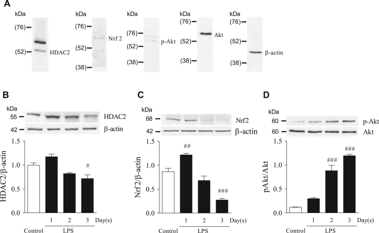 LPS exposure for 3 days reduced HDAC2, Nrf2 levels, and increased Akt phosphorylation. Mice were administered with LPS for 1–3 days, and one day after the last administration, sacrificed. Lung homogenate was separated on SDS-PAGE, and the HDAC2, Nrf2, Akt, p-Akt, and β-actin protein levels were determined by immunoblotting. HDAC2, Nrf2, Akt/p-Akt and β-actin were preliminary detected with predicted band size (A). Upper panel shows a typical immunoblot of HDAC2 (B), Nrf2 (C), Akt, p-Akt (D) and β-actin in the lung homogenates. Lower panel shows the ratios of HDAC2/β-actin (B), Nrf2/β-actin (C) or p-Akt/Akt (D), calculated by measuring band density. Results represent mean±SEM (n=3, # P