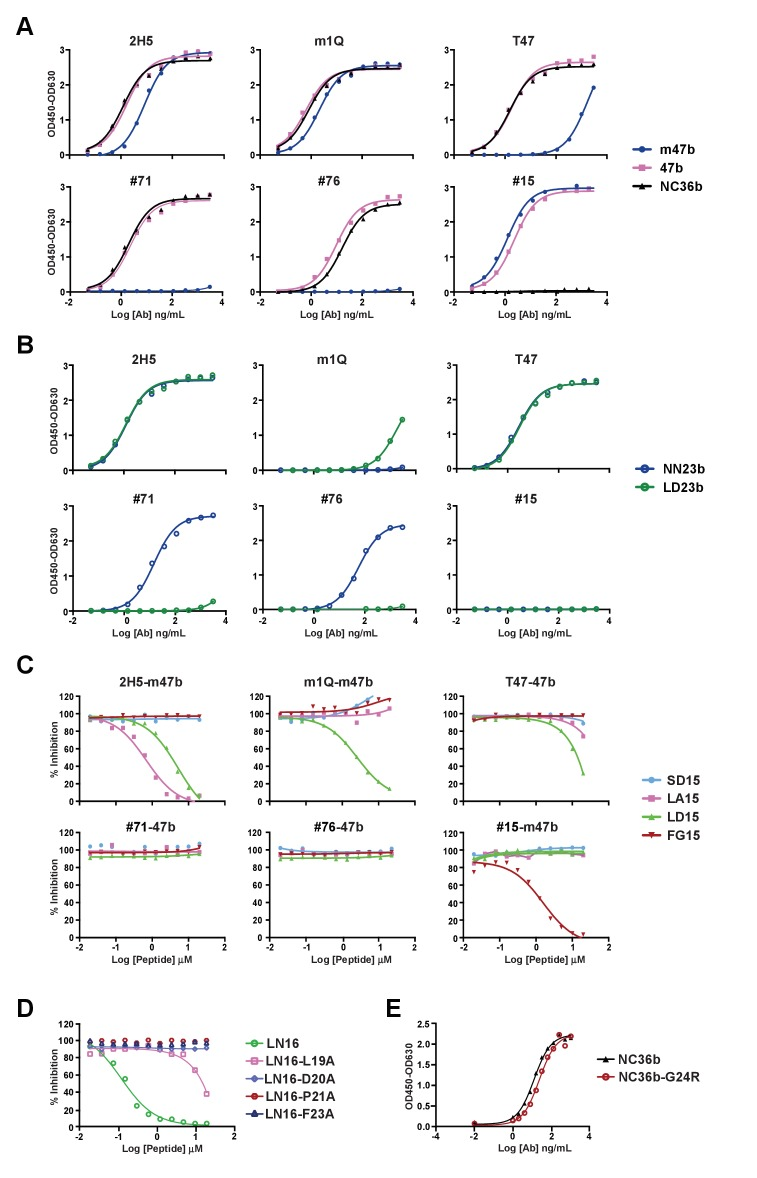Binding of the six anti-preS1 nAbs to preS1 peptides and characterization of their epitopes. ( A ) Binding of anti-preS1 nAbs to preS1 peptides by ELISA. The selected six Abs in their full-length human IgG1 forms were tested for binding to 188 nM preS1 peptides captured on an ELISA plate that had been pre-coated with streptavidin. 2H5, m1Q, and T47, bound to all three of the peptides. #71, and #76 bound to NC36b and 47b but not m47b. #15 bound to m47b and 47b, but not NC36b. The binding of Abs was detected by HRP-anti-human Fc secondary Ab. ( B ) ELISA-based assay of Abs binding to the shorter preS1 peptides, NN23b and LD23b. The assay was performed as in panel A. ( C ) Competition ELISA with short preS1 peptides. In the presence of competition short peptides without biotinylation at the indicated concentrations, the binding activity of Abs with 188 nM biotinylated m47b or 47b preS1 peptide was measured. ( A–C ) The different epitopes recognized by the nAbs are depicted in Figure 1—figure supplement 1 . ( D ) Competition ELISA with mutant peptides. Amino acids of preS1, Leu 19 , Asp 20 , Pro 21 , or Phe 23 were mutated to alanine in LN16 (a 16-mer pre S1 peptide) and tested for competition activity against the binding of 2H5 to m47b; the assay was performed as in panel C. ( E ) G24R mutation in preS1 did not affect 2H5 binding.