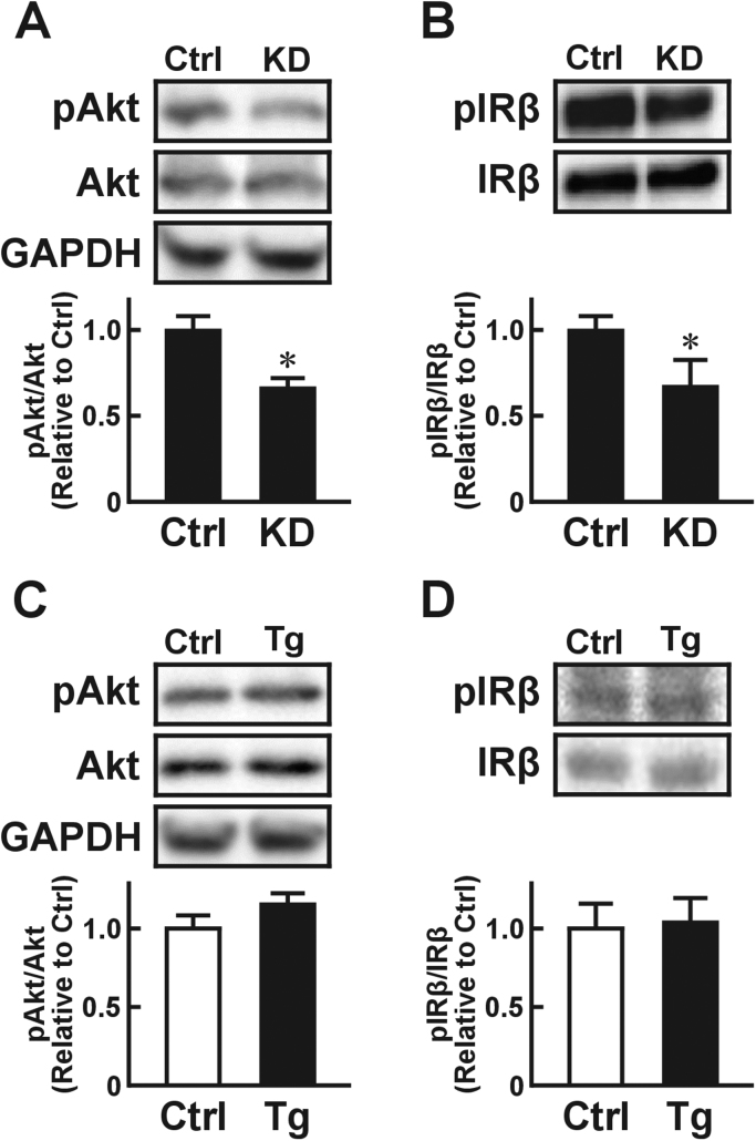 Effects of USP2 in macrophages on insulin signaling in adipocytes. Changes in insulin-elicited Akt phosphorylation (pAkt; A, C) and insulin receptor β chain (pIRβ; B, D) in 3T3-L1 cells conditioned by USP2 knockdown HL-60 cells (KD; A, B) or Usp2a overexpression isolated mouse macrophages(C, D). 3T3-L1 cells were pretreated with culture media from USP2 KD (A, B), Usp2a overexpression (C, D), or their respective control (Ctrl) cells for 10 h. After insulin (100 nM) treatment, the 3T3-L1 cells were subjected to Western blot (A, C) and immunoprecipitation Western blot (B, D) analyses. Glyceraldehyde 3-phosphate dehydrogenase (GAPDH) was also detected as reference. Values presented are the mean±SD of three experiments. * P