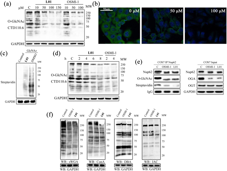 L01 acts in cells to inhibit OGT and does not grossly perturb cell-surface glycan structures. ( a ) Western blots of COS7 cell lysates after L01 treatment at different doses (0–150 μM) for 24 h. OSMI-1 (0–100 μM) was used as a positive control. ( b ) Immunocytochemistry of COS7 cells treated with 0, 50 μM or 100 μM L01 for 24 h. Immunoreactivity from antibody to O-GlcNAc CTD110.6 is green and DAPI is blue. ( c ) COS7 cells were metabolic labeled with UDP-GlcNAz (GlcNAz) and then administered with L01 (100 μM) or DMSO for 24 h. COS7 cells which did not metabolic label were used as a negative control. All the cells were harvested and then underwent Click reaction with biotin-alkyne. Blots were probed with streptavidin-HRP. ( d ) Western blots of COS7 cell lysates after L01 treatment at 50 μM for indicated times. OSMI-1 (50 μM) was used as a positive control. ( e ) Western blots of immunoprecipitated Nup62 from cell lysates after DMSO (C) or 100 μM L01 treatment for 24 h. After immunoprecipitation, Nup62 was incubated with UDP-GalNAz in the presence of mutant GalT, and chemoselectively labeled. ( f ) Lectin blots of COS7 cell lysates after L01 or OSMI-1 treatment at 50 μM for 24 h.