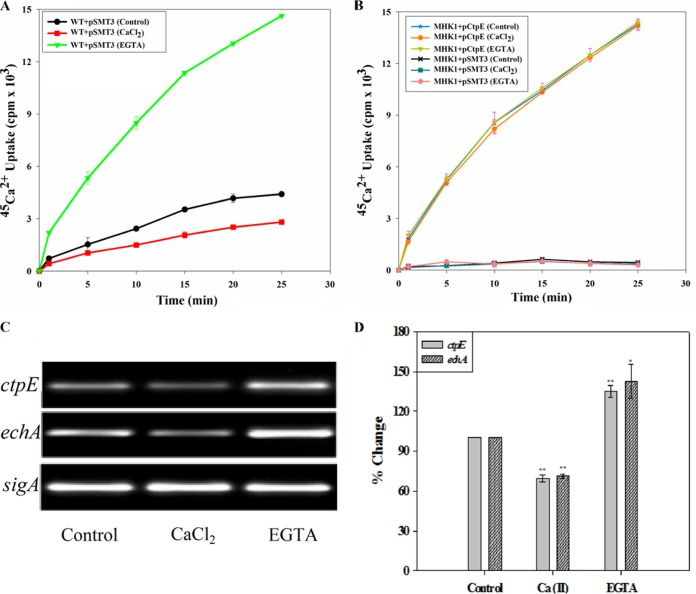 Ca 2+ negatively regulates expression of ctpE . Role of Ca 2+ on expression of ctpE in Mycobacterium smegmatis mc 2 155 strains. Strains were grown to mid-log phase in Sauton's medium without any supplementation or supplemented with 1.0 mM EGTA or CaCl 2 and used for uptake assays. (A and B) Uptake of 45 Ca 2+ in M. smegmatis mc 2 155 (WT) (A) and in the mutant (MHK1+pSMT3) and mutant complemented with M. smegmatis ctpE (MHK1+pRHK2) (B). (C) Semiquantitative reverse transcriptase PCR analysis of the M. smegmatis mc 2 155 ctpE and echA . M. smegmatis mc 2 155 was grown to mid-log phase in Sauton's medium and treated with EGTA or CaCl 2 for 2 h. RNA was isolated, and RT-PCR was carried out for ctpE , echA , and sigA . (D) Transcription profile of ctpE and echA . Quantification of amplified PCR product ( Fig. 6C ) was done by densitometry. sigA was taken as an endogenous control. The experiment was performed three times independently; values are averages, and standard deviations are shown as error bars. Values that are significantly different are indicated by asterisks as follows: *, P