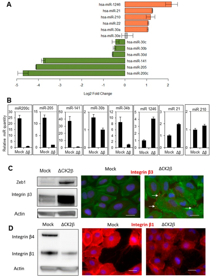 Modulation of miRNAs in ΔCK2β-MCF10A cells. ( A ) Log2 fold change of the main miRNAs modulated in CK2β-depleted versus parental MCF10A cells measured by miRNA array analysis; ( B ) Changes of miRNA expression between CK2β-depleted and Mock-MCF10A cells were confirmed by using the indicated TaqMan probes. The relative amount of each miRNAs was determined by cross-normalization to ΔCK2β samples using the comparative method and miR-720 as an internal reference; ( C ) Two targets of miR-200 and miR-30 families, respectively Zeb1 and <t>integrin</t> β3, were analyzed by Western blot and/or immunofluorescence in Mock- and CK2β-depleted cells. The ratio ΔCK2β/Mock of signal intensity in western blot was determined (3.5 and 2.3 for Zeb1 and integrin β3 respectively). Arrows indicate integrin β3 localization; ( D ) Integrin β1 and <t>β4,</t> targets of miR-21 were analyzed by western blot and/or immunofluorescence in Mock- and CK2β-depleted cells. The ratio ΔCK2β/Mock of signal intensity in western blot was 0.4 for integrin β1. F-actin in green, nuclei in blue, and integrin β in red. Scale bar, 10 μm.