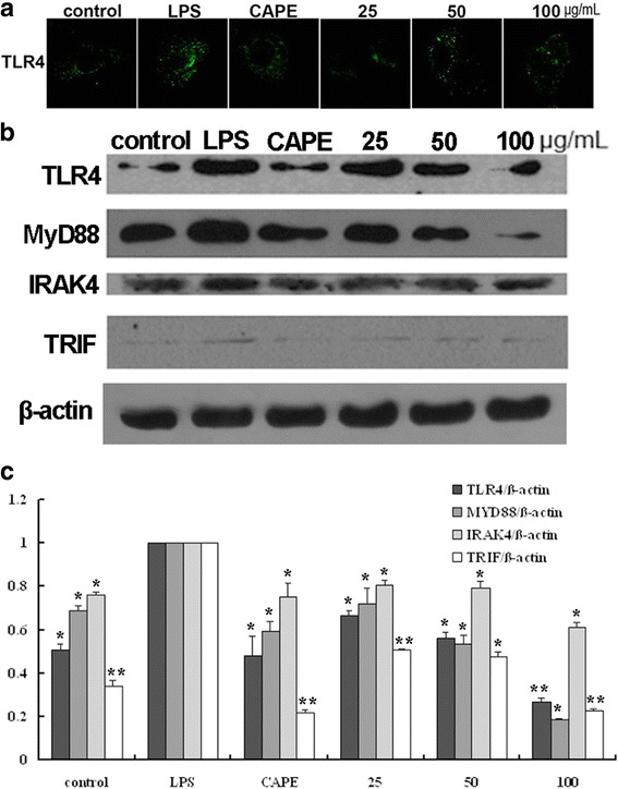 EECP and CAPE regulated the levels of TLR4, MyD88, IRAK4 and TRIF. a Cells were treated with EECP and CAPE for 24 h, respectively. Cells were stained with anti-TLR4 antibody. Immunofluorescence graphs showed a decrease of TLR4 level. b The expression of TLR4, MyD88, IRAK4 and TRIF in LPS-stimulated MDA-MB-231 cells were detected by western blotting at 48 h. c Quantification of relative expression of TLR4, MyD88, IRAK4 and TRIF in LPS-stimulated MDA-MB-231 cells. ( * P
