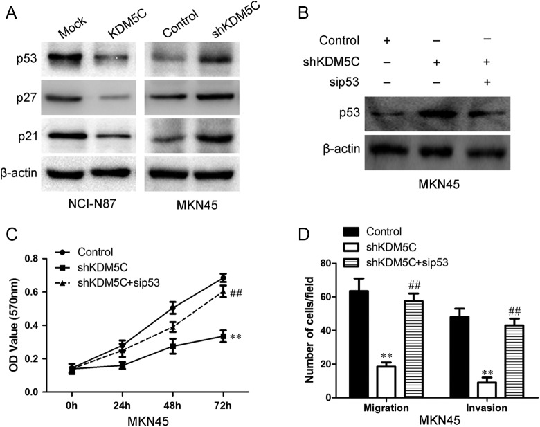 The effects of KDM5C on the p53. A, The expression of p53, p27, and p21 in KDM5C-transfected cells was examined using Western blotting. β-Actin was used as a loading control. B, The transfection efficiency of p53 siRNA 24 hours after transfection was measured using Western blot analyses. β-Actin was used as a loading control. C, The graphs show the proliferation ability of KDM5C knockdown MKN45 and its control cells after the cells had been pretreated with p53 siRNA and its negative control. D, The summary graphs show the migration ability of KDM5C knockdown MKN45 and its control cells after the cells had been transfected with p53 siRNA and its negative control. The data represent the mean number of cells per field and are presented as the means ± SD ** P