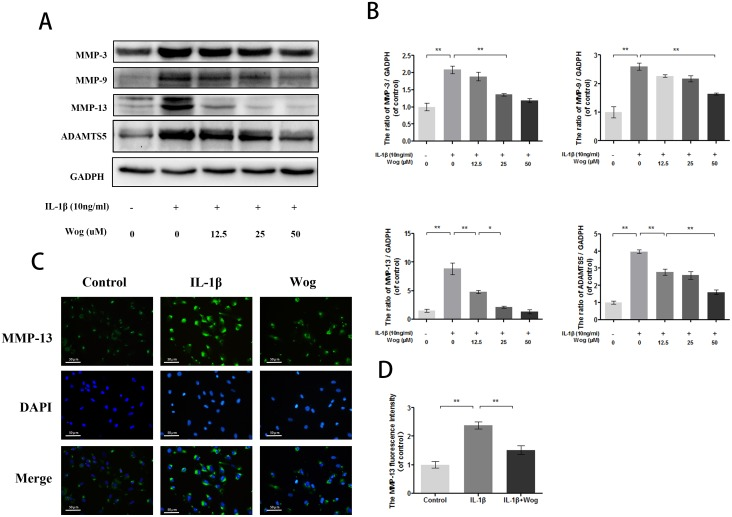 Wogonoside inhibit extracellular matrix degradation from IL-1β induced mice chondrocyte (A-B) The protein expression of MMP-3, MMP-9, MMP-13 and ADAMTS-5 in chondrocytes treated as above. (C-D) The representative MMP-13 was detected by the immunofluorescence combined with DAPI staining for nuclei (original magnification × 200, scale bar: 50 μm). The data in the figures represent the averages ± S.D. Significant differences between the treatment and control groups are indicated as **P